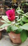 Rood nam bloem in kleipot toe stock fotografie