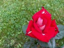 Rood nam bloem met witte delen toe Stock Foto