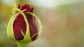 Rood nam bloem toe stock footage