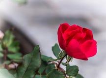 Rood nam bloem toe Stock Foto's