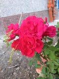Rood nam bloem toe stock fotografie