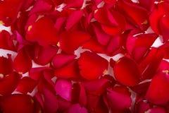 Rood nam bloemblaadjes toe Stock Afbeeldingen
