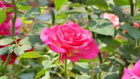 Rood nam bloesem op bloemgebied toe stock video