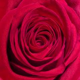 Rood nam in close-up, Rosa rosa toe stock foto's