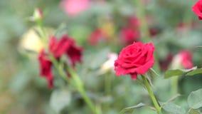 Rood nam in de lentetijd toe bij bloemgebied stock videobeelden