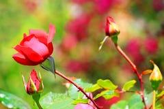 Rood nam in de tuin toe royalty-vrije stock foto