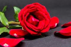 Rood nam en bloemblaadjes op grijze achtergrond toe Mooie bloesem met fluweelbloemblaadje Royalty-vrije Stock Afbeeldingen