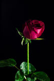 Rood nam geïsoleerde zwarte, in de donkere tijd van liefde toe Royalty-vrije Stock Foto
