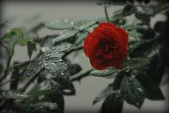 Rood nam met dalingen van dauw toe stock foto
