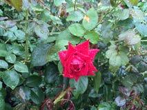 Rood nam na de zomerregen toe stock foto