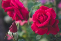 Rood nam op de tuinachtergrond toe, namen de aardbloemen voor toe Stock Foto