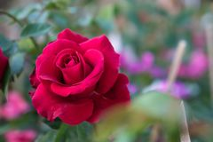 Rood nam op de tuinachtergrond toe, namen de aardbloemen voor toe Royalty-vrije Stock Foto