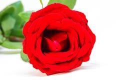 Rood nam op witte achtergrond toe Mooie bloesem met fluweelbloemblaadje Het hete roze malplaatje van de bloembanner Royalty-vrije Stock Afbeelding