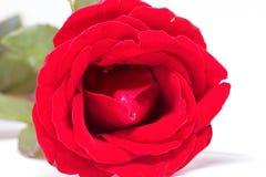 Rood nam op witte achtergrond toe Mooie bloesem met fluweelbloemblaadje Het rode malplaatje van de bloembanner Royalty-vrije Stock Afbeelding