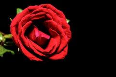 Rood nam op zwarte achtergrond toe Mooie bloesem met fluweelbloemblaadje Het levendige malplaatje van de bloembanner met tekstrui Stock Foto's