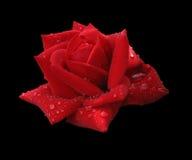 Rood nam in regendruppels toe die op zwarte worden geïsoleerdn Royalty-vrije Stock Fotografie