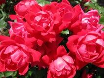 Rood nam struik het bloeien toe Royalty-vrije Stock Afbeeldingen
