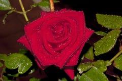 Rood nam tegen een donkere achtergrond, met waterdalingen toe op zijn bloemblaadjes en bladeren die door een avondstortbui worden Stock Afbeeldingen
