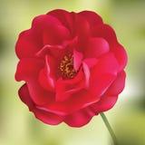Rood nam toe. De bloem van het netwerk Stock Fotografie