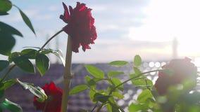 Rood nam toe De rode rozen groeien stock video