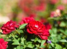 Rood nam in tuin toe Stock Afbeelding
