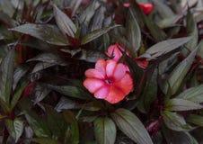 Rood Nieuw-Guinea Impatiens met groene en purpere bladeren op achtergrond stock foto's