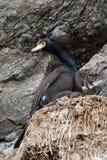 Rood-onder ogen gezien aalscholver (urile Phalacrocorax) iin nest op klip Stock Foto