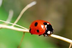 Rood onzelieveheersbeestje Stock Foto