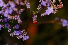 Rood onzelieveheersbeestje - Coccinellidae Royalty-vrije Stock Foto