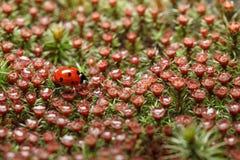 Rood onzelieveheersbeestje en bloesemmos Royalty-vrije Stock Afbeeldingen