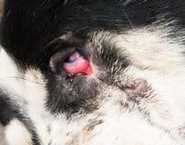 Rood oog Ontsteking en besmetting stock afbeelding