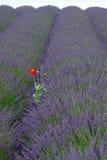 Rood op Lavendar Royalty-vrije Stock Afbeeldingen