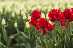 Rood op witte Nederlandse tulpen stock foto
