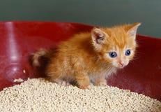 Rood oud haar één maand weinig katje in jonge geitjeshand Royalty-vrije Stock Foto