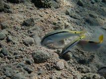 Rode overzees goatfish stock foto's