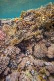 Rood Overzees koraalrif Stock Fotografie