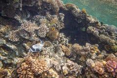 Rood Overzees koraalrif Stock Foto