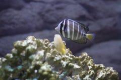 Rood overzees sailfin zweempje stock foto's