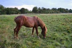 Rood paard Royalty-vrije Stock Afbeelding