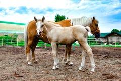 Rood paard met het jonge veulen weiden stabiel royalty-vrije stock afbeeldingen