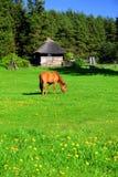 Rood Paard op een Weide Stock Afbeeldingen