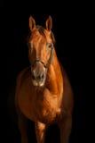 Rood paard op zwarte achtergrond Stock Afbeeldingen
