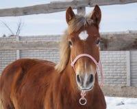 Rood paardgezicht op de hemelachtergrond royalty-vrije stock foto's