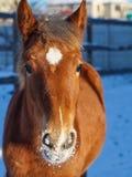rood paardhoofd stock fotografie