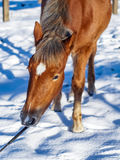 Rood paardhoofd op de sneeuwachtergrond royalty-vrije stock afbeeldingen