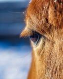 Rood paardoog royalty-vrije stock foto's