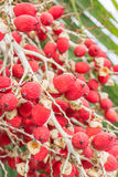 Rood palmfruit Royalty-vrije Stock Afbeelding