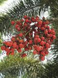 Rood Palmfruit Stock Afbeeldingen