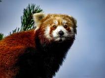 Rood Panda Ailurus fulgens, ook gekend als Lesser Panda, Rode Bea Stock Foto's