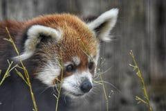 Rood Panda Bear in lang gras royalty-vrije stock foto's